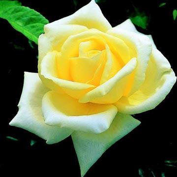 Уход за розами черная магия